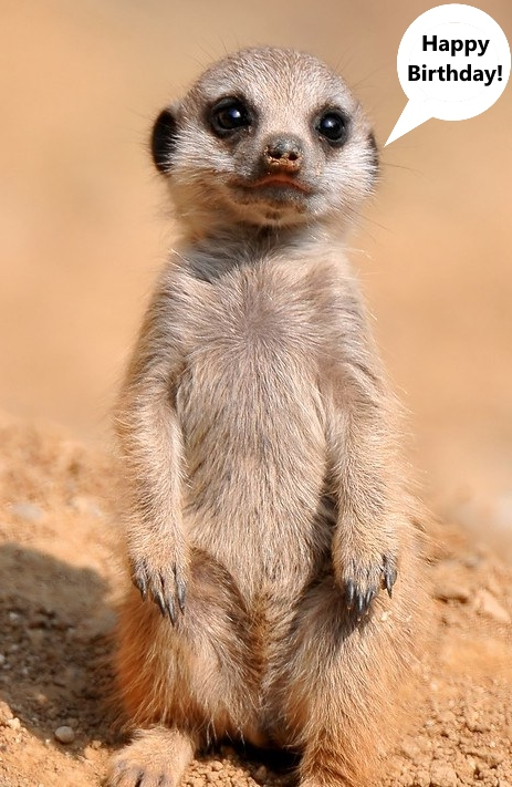 Cute little meerkat standing