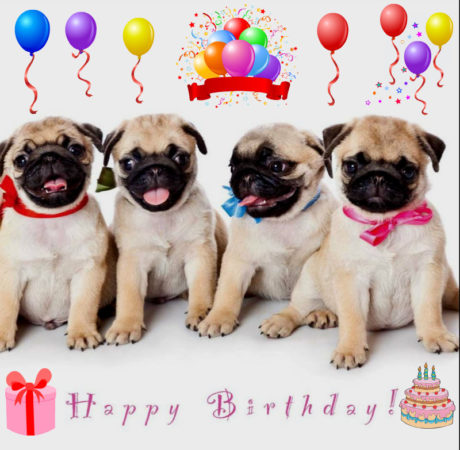 Happy birthday, funny pug 2